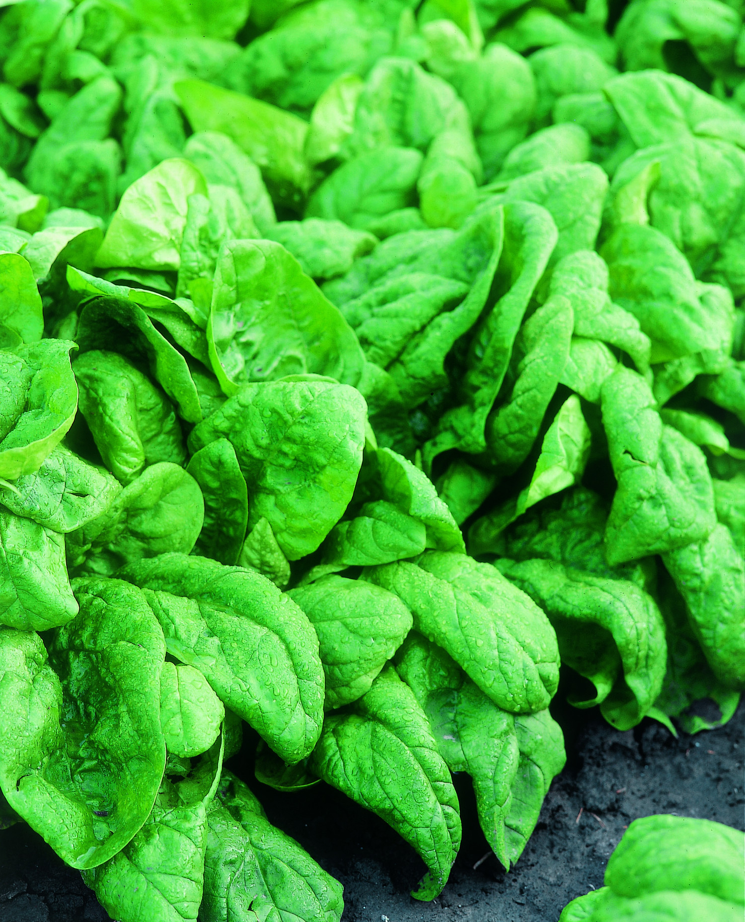 Sharan F1 Spinach All Types Linea Professionale