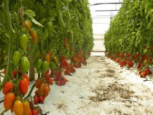 coltivazione 112SA604 F1