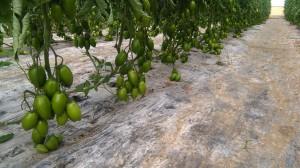 MAGYCO F1- greenhouse
