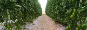 MAGYCO F1- foto serra