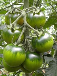 YUP- frutto coltivato  FONDI