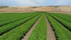 Basilico- coltivazione pieno campo