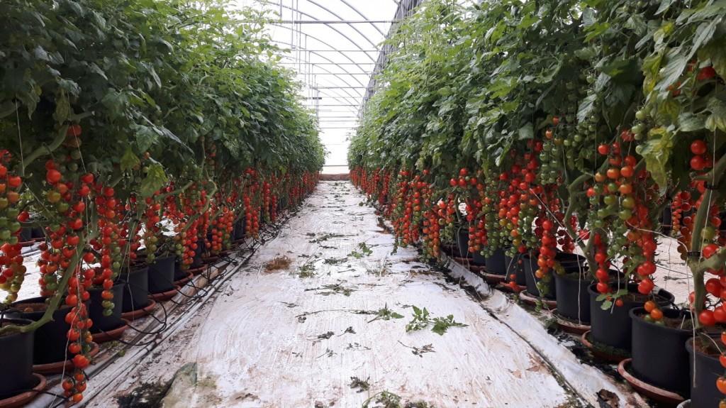 MYGLIORITO F1- coltivazione fuori suolo