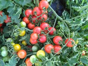 WELCOME- Coltivazione in Puglia