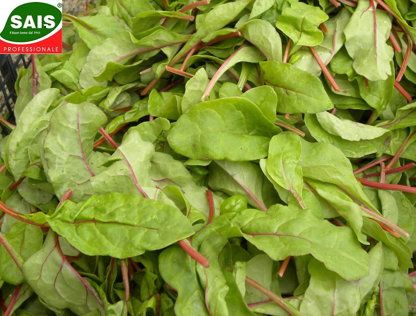 Rucola -Red chard  battipaglia 009