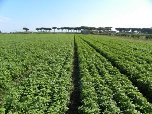 GEMINI: open field cultivation