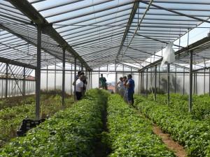 Giornata dimostrativa - Albenga (SV): basilico GEMINI coltivazione in serra